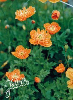 MECONOPSIS cambrica  'Aurantiaca Plena'   - Jelitto Seeds