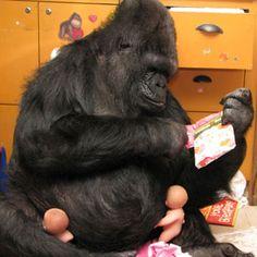 penny and koko the gorilla | Chimp Trainer's Daughter: Happy birthday Queen Koko!