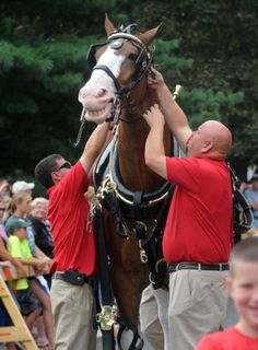 Images by Lee News Service photographer Kevin Kilhoffer of the Budweiser Clydesdales as they are hitched at Peterson Park for a visit in Mattoon, IL Sunday, Clydesdale Horses Budweiser, Draft Horses, Cardinals, Animals Beautiful, Tigers, Butterflies, Bears, Sunday, Snoopy