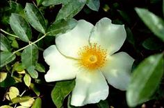 Mermaid -- large climbing species of 15-20 feet, very vigorous and thorny, large single light yellow flowers, purportedly Monet's favorite rose