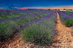 Lavender in Provence - Plateau de Valensole - France by FRANK SMOUT IMAGES, via Flickr