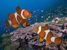 Clownfish Pair, Komodo Island, Indonesia