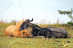 The battle lasts just 60 seconds with the injured wildebeest eventually giving up trying to break free and becoming a victim of the lion