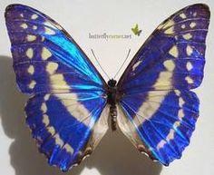 ButterflyCorner.net: Morpho cypris