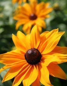 Margarida-amarela (Rubeckia hirta)