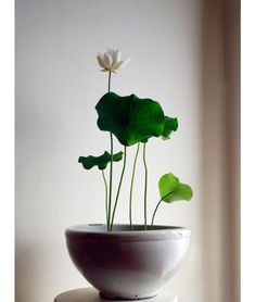 Lotus Flower You don't need a pond to grow water lilies, you can simply grow it in your home. MoreYou don't need a pond to grow water lilies, you can simply grow it in your home. Ikebana, Potted Plants, Garden Plants, Indoor Plants, Indoor Pond, Indoor Water Garden, Mini Plants, Water Gardens, Indoor Flowers