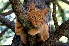 Red Cat on a tree - Cat pictures gallery Pretty Cats, Beautiful Cats, Animals Beautiful, Cute Animals, Hello Beautiful, Animals Images, Beautiful Sunset, Cute Kittens, Cats And Kittens