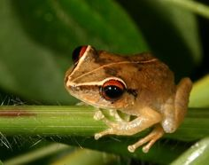 Coquí: a small frog endemic to my beautiful island Puerto Rico.