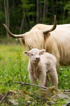 highland cattle – komunita – Google+