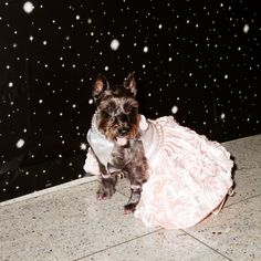 Photo Credit: Amy Lombard. Lily poses at the New York puppy prom, 2013.