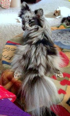 Marvelous Pomeranian Does Your Dog Measure Up and Does It Matter Characteristics. All About Pomeranian Does Your Dog Measure Up and Does It Matter Characteristics. Cute Puppies, Cute Dogs, Dogs And Puppies, Chihuahua Dogs, Chihuahuas, Pomchi Dogs, Pomeranians, Pomeranian Puppy, Pomsky