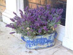 lavender in a blue/white delft planter (antique soup toureen)
