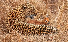 This leopard has probably very recently lost a cub and it's residue maternal instinct at work here. I saw a similar (maybe the same one) situation on Nat Geo and it didn't end well for the fawn.