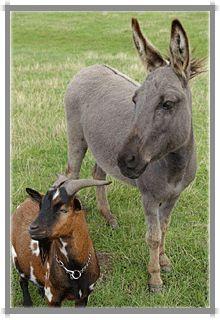 Esel und Ziegen auf dem Ferienhof