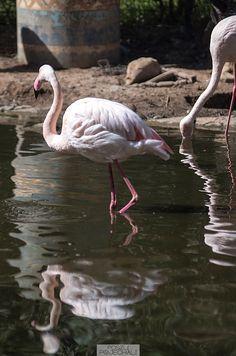 Flamingo, Bird Valley, Agadir, Morocco