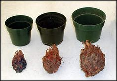 """How to take care of planting and rooting sago palm """"pups"""" or """"suckers"""" that are carefully removed from a parent plant while they are dormant."""