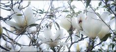 Winter's Inspiration of blooming flowers feed my soul. White magnolias blooming at San Francisco Botanical Garden. Buy Flowers, Blooming Flowers, Winter Beauty, Magnolias, Botanical Gardens, San Francisco, Creative, Plants, Inspiration
