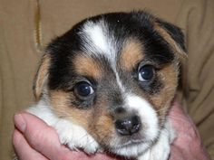 Jack Russell puppy so adorable!