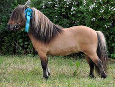 Shetland Pony - stallion Trewordergrange Rupert Bear My Pretty Pony, Shetland Ponies, Miniature Ponies, Mini Horses, Cute Ponies, Horse Pictures, Palomino, Horse Breeds, Horse Love