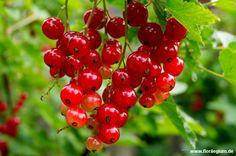 Rote Johannisbeere, Ribes rubrum http://www.florilegium.de/blog/pflanzen/obst-und-gemuese/rote-und-schwarze-johannisbeeren-ribes-rubrum-und-nigrum.html
