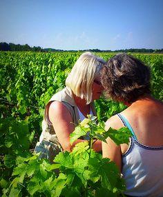Aout: rognage, c'est l'occasion de faire découvrir la vigne aux touristes à Chateauvieux