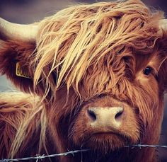 Highland Cattle: This animal looks so kind and gentle. A very nice Black and White photo! Highland Cow Art, Highland Cattle, Cow Pictures, Animal Pictures, Cute Baby Animals, Farm Animals, Wild Animals, Cows Mooing, Scottish Highland Cow