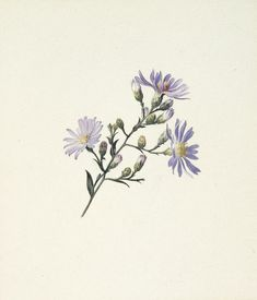 Asters, c. Watercolor and white gouache over graphite on off-white wove paper Aster Tattoo, Aster Flower Tattoos, Flower Logo, Botanical Drawings, Botanical Art, White Gouache, Month Flowers, Cheap Charm Bracelets, Floral Drawing