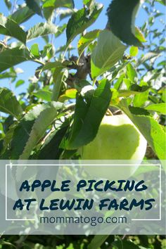 Apple Picking at Lewin Farms | Long Island | New York | Long Island Kids Activities | Fall Activities for Toddlers | Fall Activities for Kids | Fall Activities for Preschool | New York City Day Trip