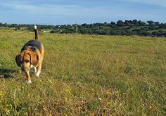 Pequeños placeres  #calañas #Zanco #igershuelva #igersspain #igersandalucia #instagramers #beagle #beaglelovers #instabeagle #