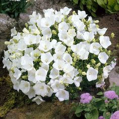 White Clips is the white version of the famous Bellflower Blue Clips; they make a great display together. 8 to 12 inches tall. (Campanula carpatica)