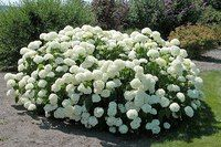 Try mixing the Annabelle Hydrangea with the Pennymac or Nikko Blue Hydrangea to provide great color combinations. Incrediball Hydrangea, Hortensia Hydrangea, Limelight Hydrangea, Hydrangea Care, Hydrangea Not Blooming, Garden Shrubs, Flowering Shrubs, Garden Plants, Hydrangea Arborescens Annabelle