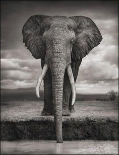 Elephant drinking. Amboseli, 2007. Killed by poachers, 2009.