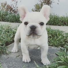 The major breeds of bulldogs are English bulldog, American bulldog, and French bulldog. The bulldog has a broad shoulder which matches with the head. French Bulldog For Sale, French Bulldog Blue, Bulldog Puppies For Sale, Pug Puppies, Frenchie Puppies, White Bulldog, Terrier Puppies, Chihuahua Dogs, Terrier Mix