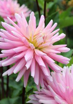 Old House Gardens Heirloom Bulbs - Miss Rose Fletcher Dahlia
