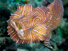 Psychadelic frogfish: First spotted by scuba divers off of Indonesia in 2007, it's kind of hard to believe such a spectacularly flamboyant fish avoided discovery for so long.