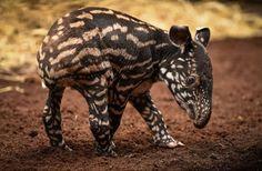 tapírek