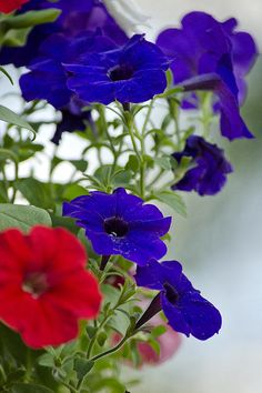 Classic Petunia Flowers by Christina Rollo - Classic Petunia Flowers Photograph - Classic Petunia Flowers Fine Art Prints and Posters for Sale