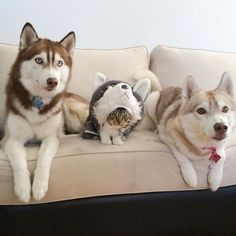 A Cat among two Huskies