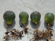 Euphorbia obesa della famiglia delle Euphorbiacee