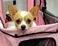 cdcba46b2a005 Image result for cutest dogs ever Cute Chihuahua