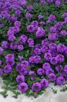 Valley Lavender Plains Verbena - Verbena bipinnatifida xeric