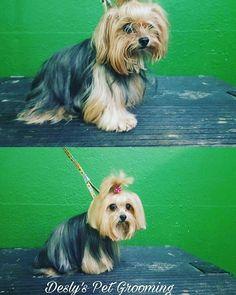 I love my job ❣❤❣ #yorkies #yorkshire #baby #sweet #dtla #losangeles #petgrooming #doglovers #petstore #amazing #sweets #cute #cutier #pooch #dogsofinstagram #doglovers #lovepets #pets #love #❤ #venicelife #veniceca #venicebeach #santamonica #santamonicabeach #LAlive #dtla