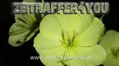 Gemeine Nachtkerze Oenothera biennis Timelapse Zeitraffer Blooming sun d...