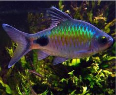 There are many types of tropical fish that you keep in your freshwater aquarium. Here are the best tropical fish species to keep if you're a beginner . Tropical Freshwater Fish, Tropical Fish Aquarium, Tropical Fish Tanks, Freshwater Aquarium Fish, Fish Ocean, Rare Fish, Pet Fish, Fish Fish, Discus Fish