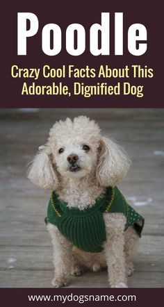 Everything you need to know about the Poodle. Size, behavior health and so much much. If you're thinking about getting this breed of dog, this is a must read!!