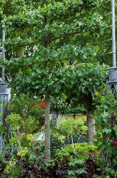 AALLOWS FOR AN UNDERSTORY, DOESNT SHADE OUT  espeliered fruit | Espalier fruit trees Bunny Guinness/ Landscape Design