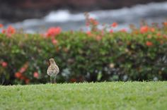 Pacific Golden Plover (Click through for his amazing story)