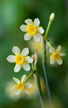 Narcissi 'Edged in Gold'