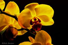 Orchids - Bill Barber Photography