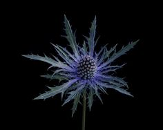 Thistle photo, blue thistle on black, modern botanical art, floral portrait, Estella - photograph Flora Flowers, Pretty Flowers, Wild Flowers, Macro Photography, Fine Art Photography, Photography Portfolio, Flowers Black Background, Thistle Tattoo, Sea Holly